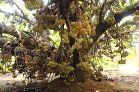 Ripe Mulberry Fruits Kerala Fruit PhotosPixelShotsKerala Travel Kerala Fruit Trees