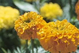Marigolds alone will not repel all insects from your herbs.