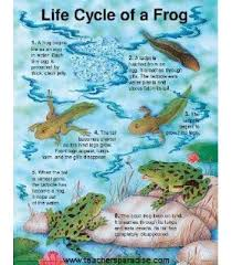 The Life Cycle Of A Frog Chart