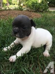 blue bulldog puppies. Delighful Bulldog Alapaha Blue Blood Bulldog For Sale In North Carolina Classifieds U0026 Buy And  Sell  Americanlisted And Blue Bulldog Puppies P