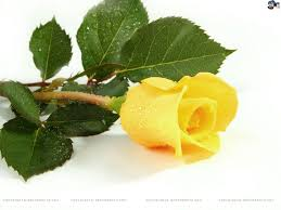 yellow rose flower pictures hd walls find wallpapers