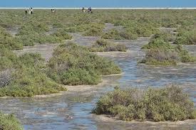 Arthrocnemum macrostachyum - Flora of Qatar