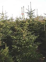 Nordmann fir trees on a Christmas tree farm in Europe.