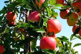 Guerrilla Grafters Secretly Graft FruitBearing Branches Onto San Tree Bearing Fruit