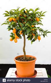 Kumquat Tree Not Bearing Fruit