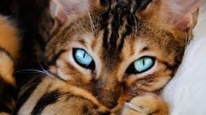 marble bengal cat. Wonderful Bengal Marble Bengal Cats Health Problems In Cat L
