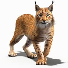 lynx size lynx pictures kids search