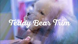 toy poodle in a teddy bear trim dog grooming by diane betelak