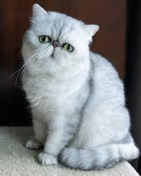 exotic shorthair munchkin.  Exotic Missionhill Persians U0026 Exotics With Exotic Shorthair Munchkin KittySitesCom
