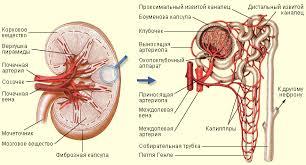Заболевание почек признаки причины симптомы и лечение  Заболевание почек причины симптомы и лечение