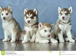 red husky puppy blue eyes. Delighful Red Four Blueeyed Copper And Light Red Husky Puppies On Wooden Floor Gray Intended Red Husky Puppy Blue Eyes