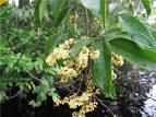 connarus guianensis