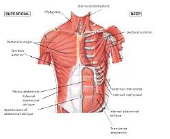 Stomach Muscle Chart Diagram Of The Chest And Stomach Reading Industrial Wiring