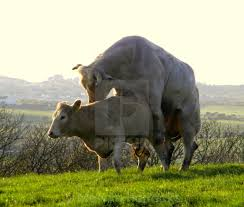 bulls and cows mating.  Bulls For Bulls And Cows Mating