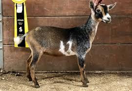 Seven Winds Farm Nigerian Dwarf Lamancha Dairy Goats