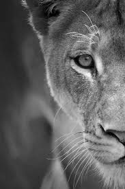 lioness black and white. Unique Lioness Strong Lioness Black And White  Google Search Intended Lioness Black And White