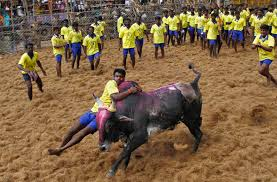 latest news gallery pictures of latest stories and topical bull taming in madurai