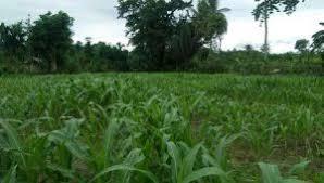 Pemupukan jagung sebaiknya dilakukan dengan jenis pupuk yang tepat sehingga mampu meningkatkan hasil panen bagi petani untuk meningkatkan kesejahteraan. Budidaya Tanaman Jagung Satelitcyber Com