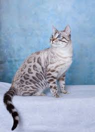 white bengal cat.  Cat This White Bengal Cat Looks Identical To My Melon Except He Has A  Tip On His Tail With White Cat S