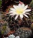 Все виды кактусов домашних условиях