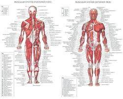 Muscle Chart Template Inspiration Medium Size Of Jolly Weight Lifting Workout Chart Template Training