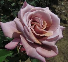 Our List Of The Most Fragrant Roses  The McCartney Rose™  Star Fragrant Rose Plants