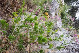 Woody Catchfly (Silene fruticosa) · iNaturalist.org