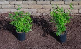 blueberry soil mix. Modren Mix How To Plant Blueberries On Blueberry Soil Mix T