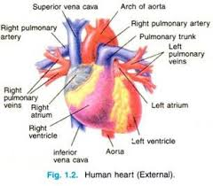 essay on human heart location structure and other details  human heart external