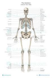 Human Bone Chart Human Skeleton Anatomy Chart Human Anatomy Poster Skeleton