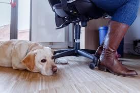 Einen männlichen hund nennt man rüde. Arbeitswelt Ein Hund Im Buro Mit Diesen Tipps Kann Das Klappen Augsburger Allgemeine