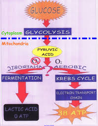 Complete The Chart For The Stages Of Cellular Respiration What Are The 3 Main Stages Of Cellular Respiration In Order