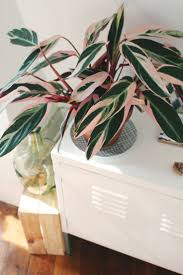 163 best Houseplants with Beautiful Leaves images on Pinterest in addition The Dark Side  Plants with Black or Purple Foliage – Master together with Tropical Plants together with Tropical Plants likewise 20 Super Easy Houseplants You'll Love   Midwest Living additionally 20 Super Easy Houseplants You'll Love   Midwest Living in addition Tropical Plants in addition Tropical Plants additionally Best 25  Large leaf plants ideas on Pinterest   Fiddle leaf together with Best 25  Tropical plants ideas on Pinterest   Green leaves in addition Exotic Angel   Costa Farms. on large leafed plant red and green house