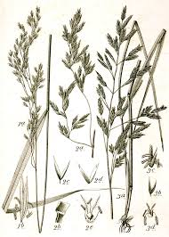 Festuca (botanica) - Wikipedia