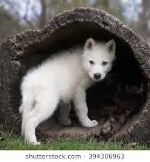 baby wolf. Modren Wolf Young Grey Wolf Pup Climbing Into A Hollowed Log Then Looking Over Its On Baby Wolf