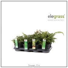 En Hoogeveen Plantsbamboo Grasses Ferns En Hoogeveen Plants