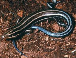 Image Result For Poisonous Striped Lizards In South Carolina Lizards