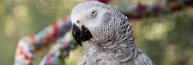 Mia Bird – African Grey Parrot — Pandemonium Aviaries