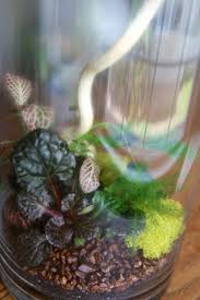 Tall cylindrical terrarium with Asparagus fern, Nerve plant and black  scallop Ajuga- Flower power
