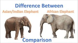 African elephant vs asian elephant