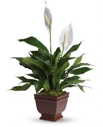 Light For Peace Lily Peace Lily Care Bobs Market And Greenhouses