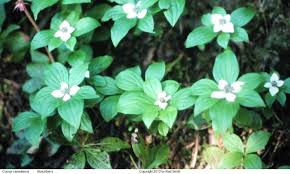 white flowers in bunchberry med sun shade spring red berries in fall pnp cotoneaster dammeri 1 5 x 6 evergreen white flowers in bearberry cotoneaster
