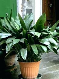 decoration hen and plant poisonous plants for low light hard to kill houseplants non