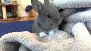 super cute baby bunnies.  Cute Cute Baby Bunny Rabbit RESCUED So Adorable Exploring Blanket In  Bedroom  YouTube Intended Super Bunnies L