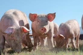 farm animals pictures. Wonderful Pictures Signature Goal Surpassed In California Farm Animal Ballot Campaign Inside Farm Animals Pictures