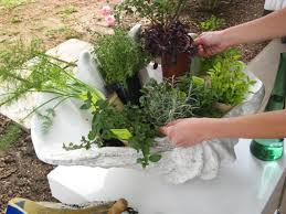 arrange potted herbs in container