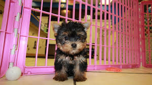 nice yorkshire terrier puppies near atlanta georgia at puppies local breeders