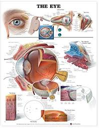 Eye Diseases Chart The Eye Anatomical Chart