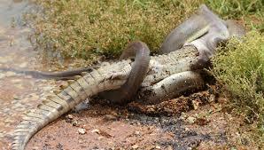 king cobra snake eating. Perfect Snake Inside King Cobra Snake Eating E