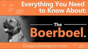 If You Want To Get A Boerboel Learn Everything You Need To